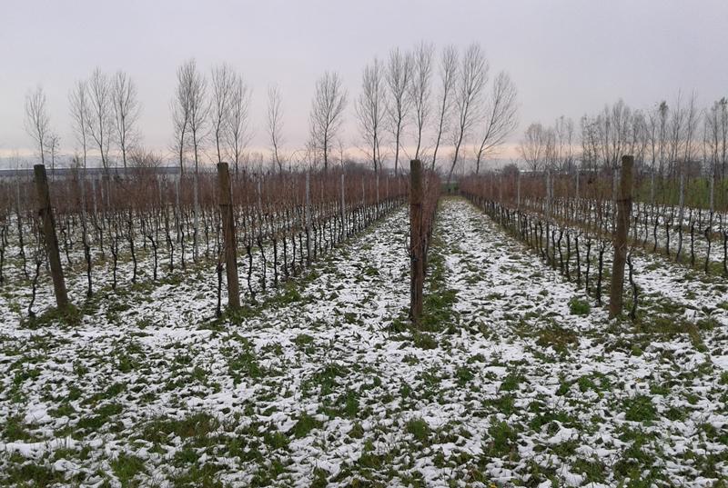 Vigneto-Inverno